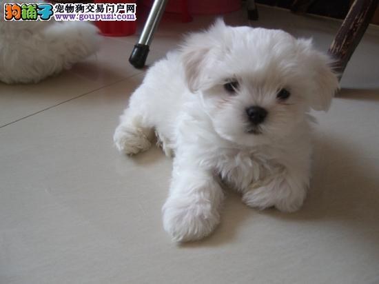 济南大型犬舍直销纯种马尔济斯犬 保证健康 放心购买2