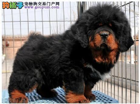 藏獒/出售纯种藏獒幼犬铁包金红狮子 金獒
