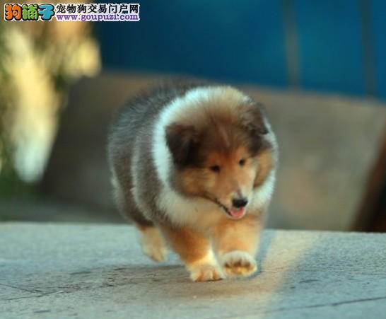 长沙最大犬舍出售多种颜色喜乐蒂品质一流三包终身协议