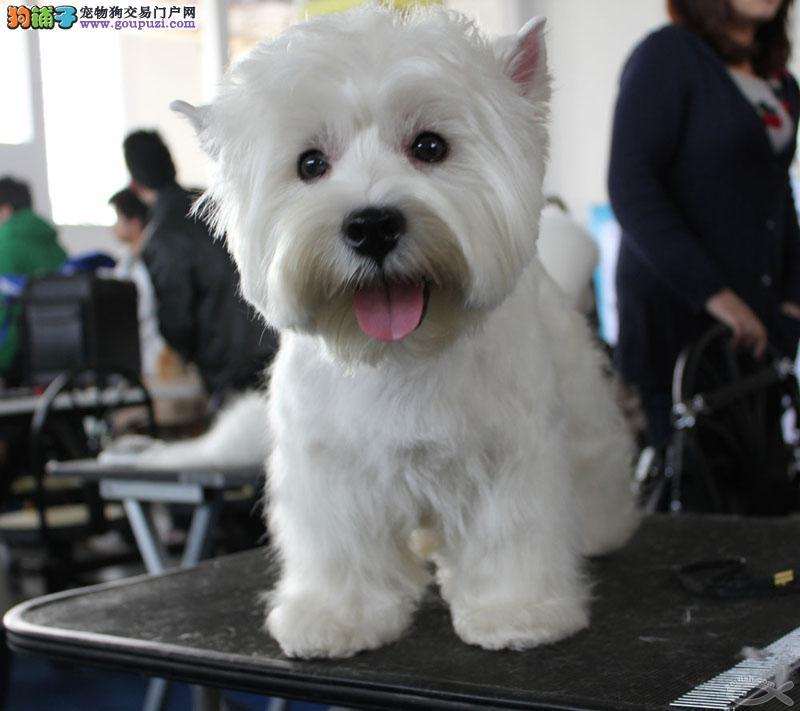 CKU认证犬舍出售高品质西高地质量三包多窝可选