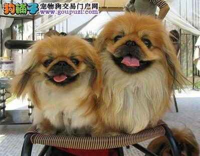 长沙哪里出售京巴狗纯种健康的京巴犬哪里有卖4