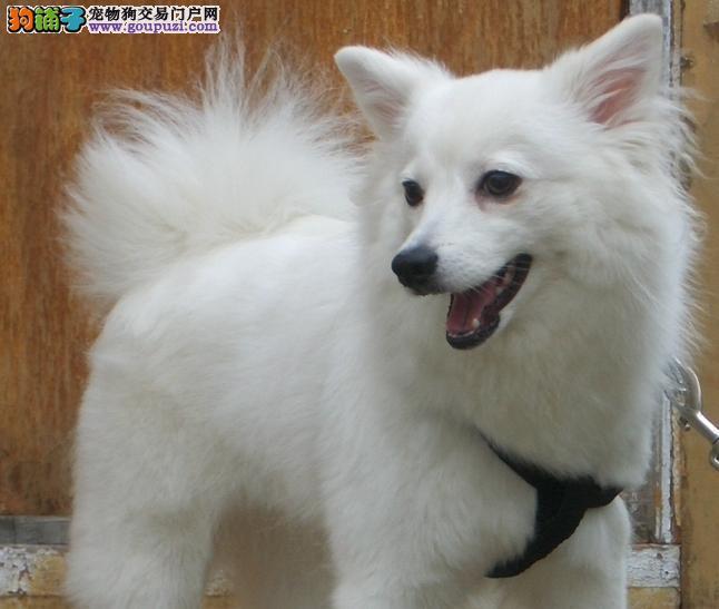 出售银狐犬专业缔造完美品质欢迎您的光临