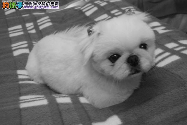 长沙哪里出售京巴狗纯种健康的京巴犬哪里有卖2