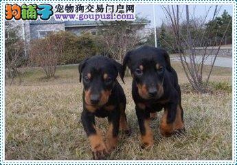 专业繁殖杜宾幼犬 保证纯种凶悍 看了就想买