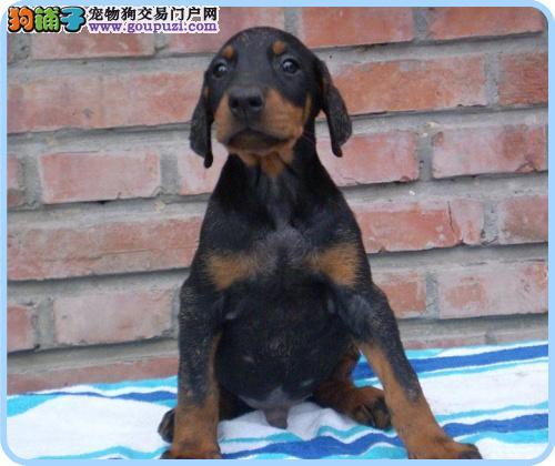纯种杜宾, CKU认证犬舍 保证品质保证健康