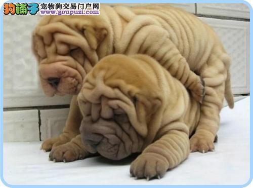 温州哪里有卖纯种沙皮狗的