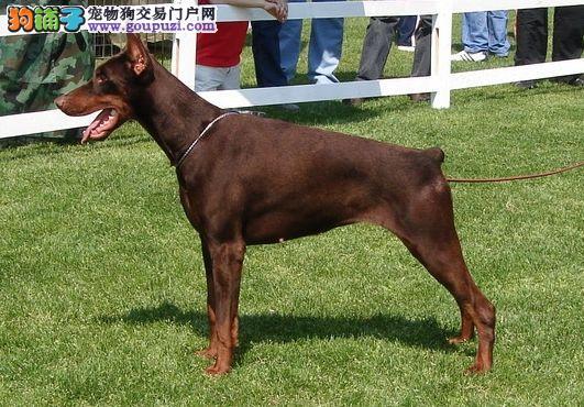 南京哪里有杜宾犬极品杜宾多少钱杜宾犬