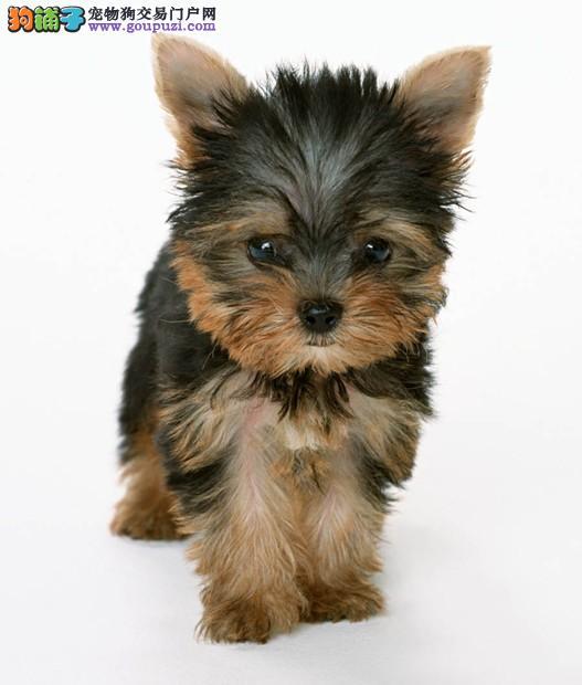 犬舍直销品种纯正健康沧州约克夏签订合法售后协议