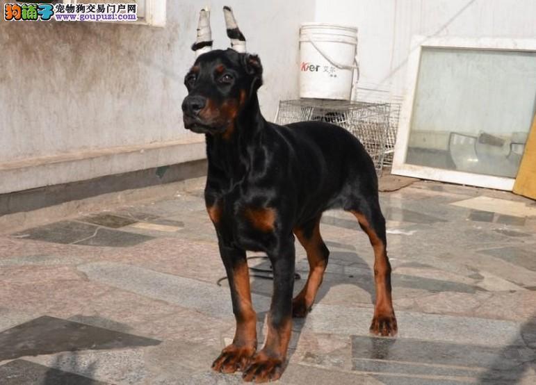 专业繁殖杜宾大型犬类、德系美系保纯种 保健康 保品质2