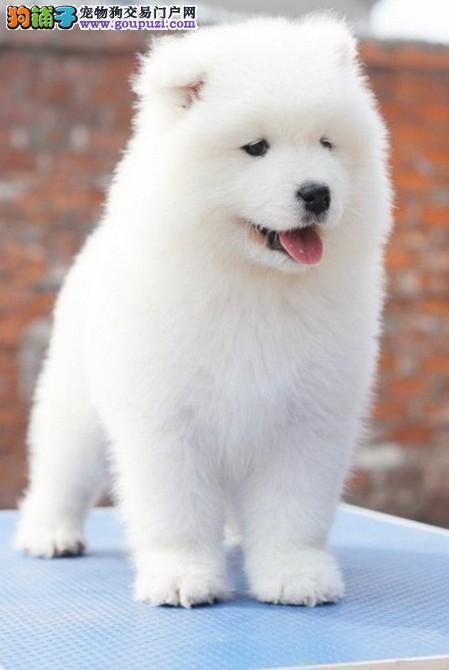 广州专业繁殖 纯种萨摩耶犬送宠物用品犬粮可签协议