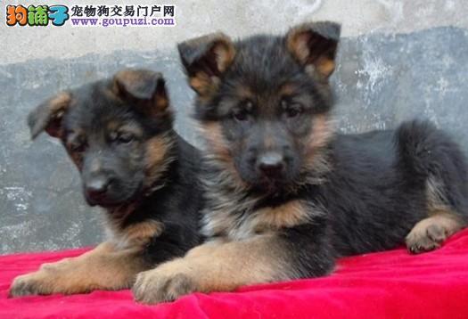 解说德国牧羊犬与狼狗之间的区别在哪里