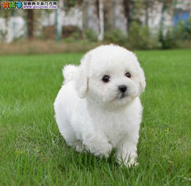 深圳出售精品娃娃脸贵宾犬保纯种健康签订质保协议