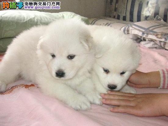 严寒考验 如何让银狐犬顺利度过冬天