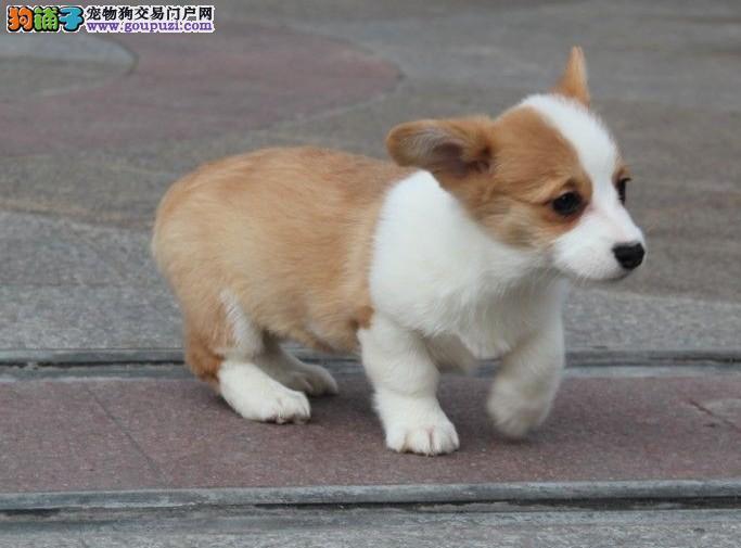 哈尔滨 哪里有柯基犬出售柯基价格是多少4
