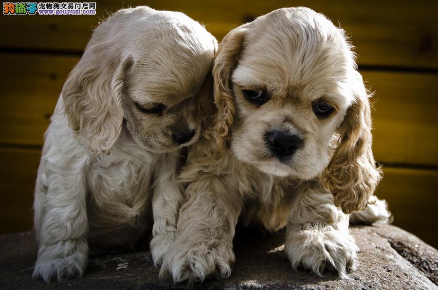 台州销可卡犬等幼犬猎鹬犬英系美系品种齐全包健康