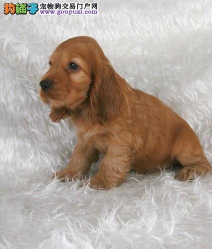 上海英系美系可卡犬自家繁殖保健康保血统签订售后协议