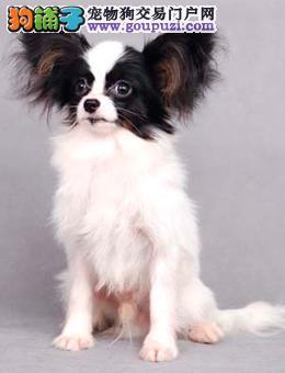 精品纯种西安蝴蝶犬出售质量三包签订保障协议