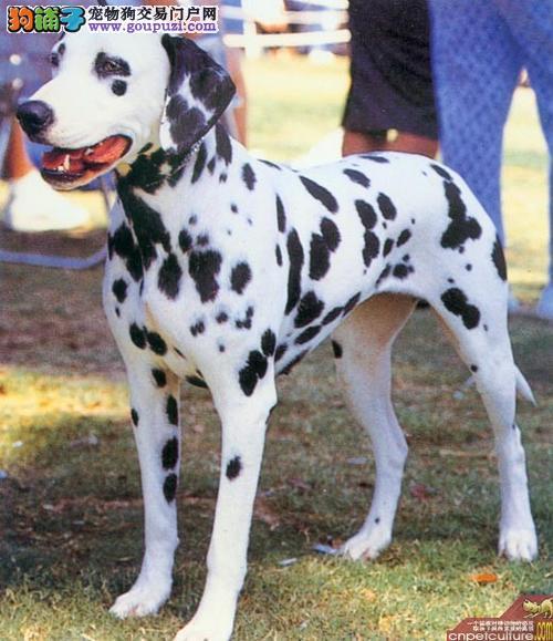 出售活泼可爱的斑点狗 品质健康 可上门挑选 质量三包