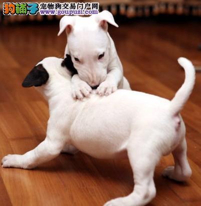 宣城精品牛头梗幼犬 个性的高颜值犬种 忠实的护卫犬