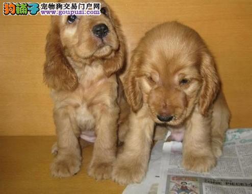 犬舍直销品种纯正健康郑州可卡三针疫苗齐全