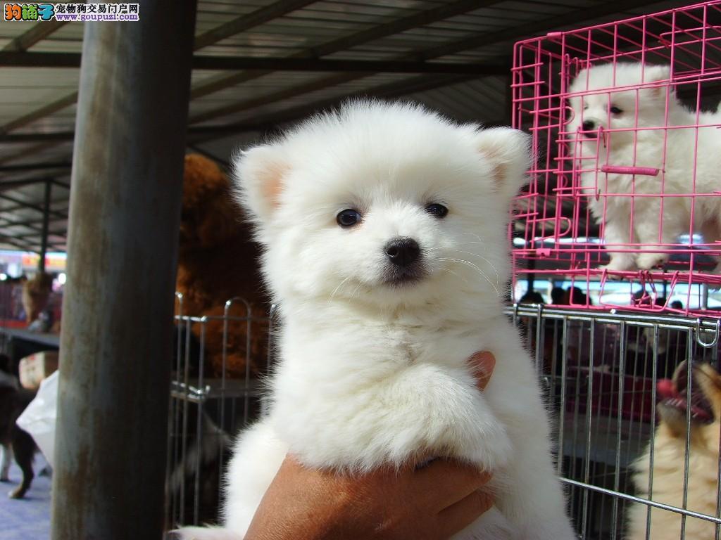 南京银狐犬多少钱一只 哪里有卖银狐的