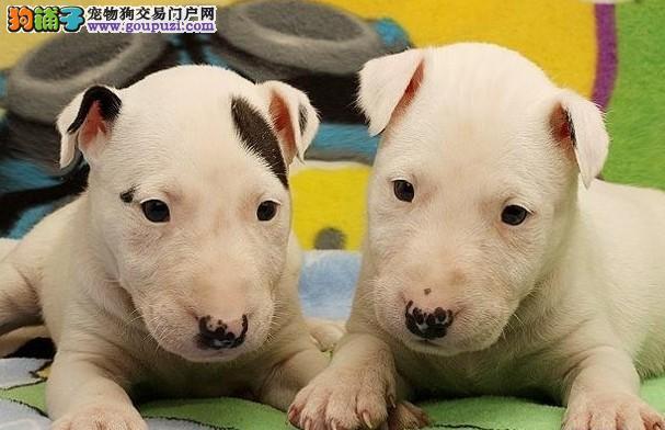 牛头梗长沙CKU认证犬舍自繁自销全国空运发货