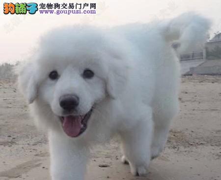 杭州专业繁育雪兽系赛级大白熊幼犬骨骼大毛质幼犬待售