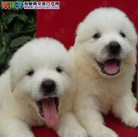 纯种的大白熊犬价出售《可上门挑选》有血统证书包健康
