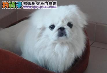 哪里有纯种京巴犬幼子,保证健康。