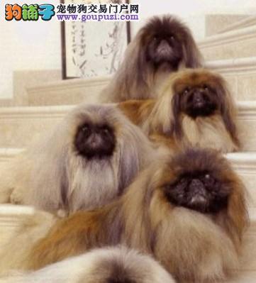 吐鲁番市纯种纯正京巴幼犬 豪华贵族血统 公母都有包售后