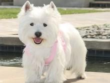 家养多只济南西高地宝宝出售中微信咨询看狗狗视频