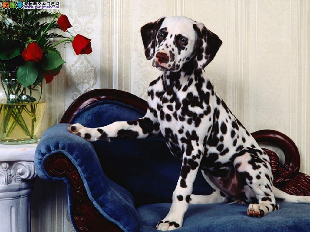 斑点狗幼犬出售中、专业繁殖血统纯正、签订正规合同2