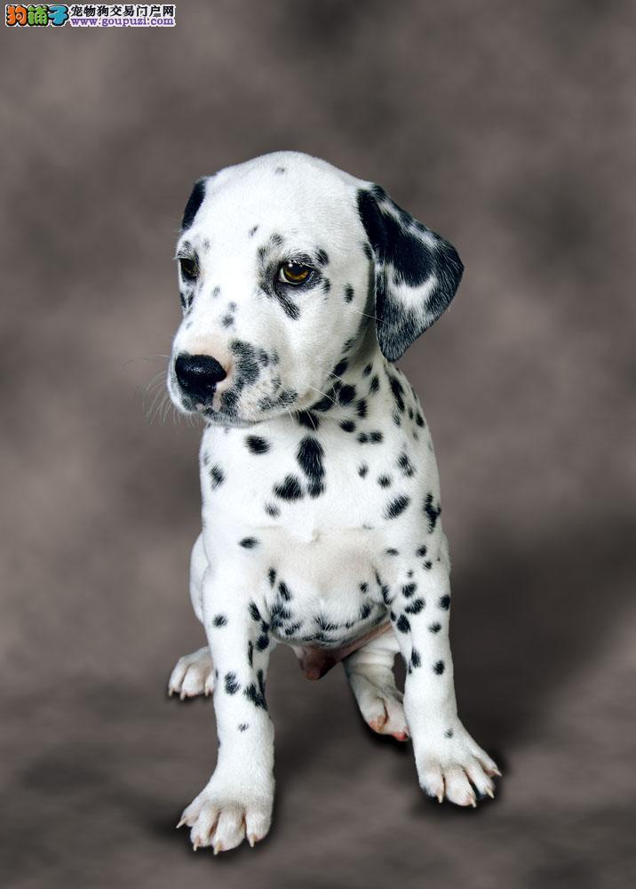 乌鲁木齐高端大气斑点狗 纯种繁殖出售