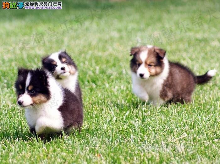 纯种喜乐蒂出售 送礼品签协议 售后三包 可视频看狗
