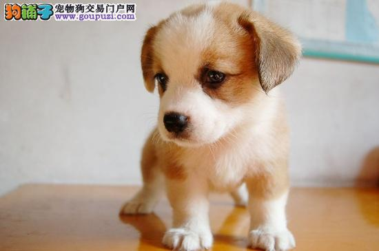 CKU认证繁殖基地售柯基幼犬公母全纯种健康质保