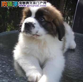 武汉大型犬舍低价热卖极品圣伯纳金牌店铺有保障