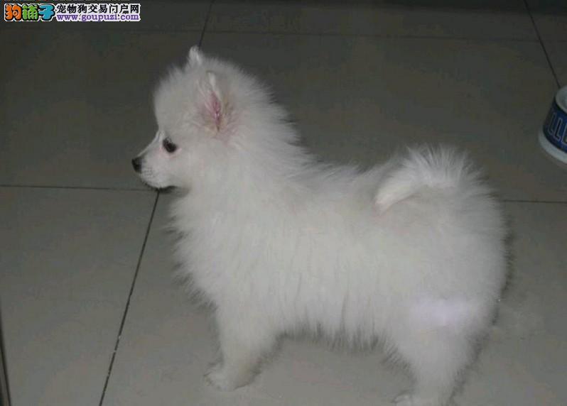 实体店热卖银狐犬颜色齐全优惠出售中狗贩子勿扰