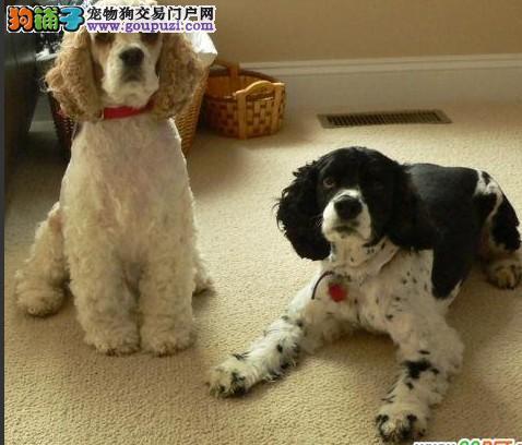 自家养的正宗英国可卡犬一窝小狗狗每只1280出售中