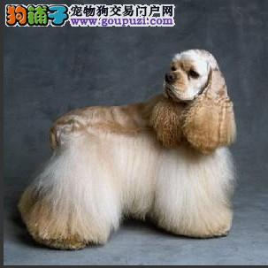 可卡犬在运动和毛发护理时要注意什么