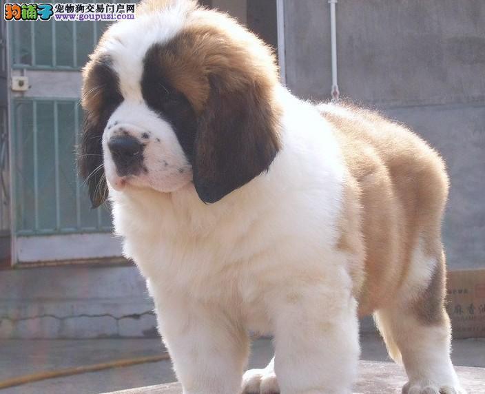 出售高品质圣伯纳,可办理血统证书,提供养狗指导