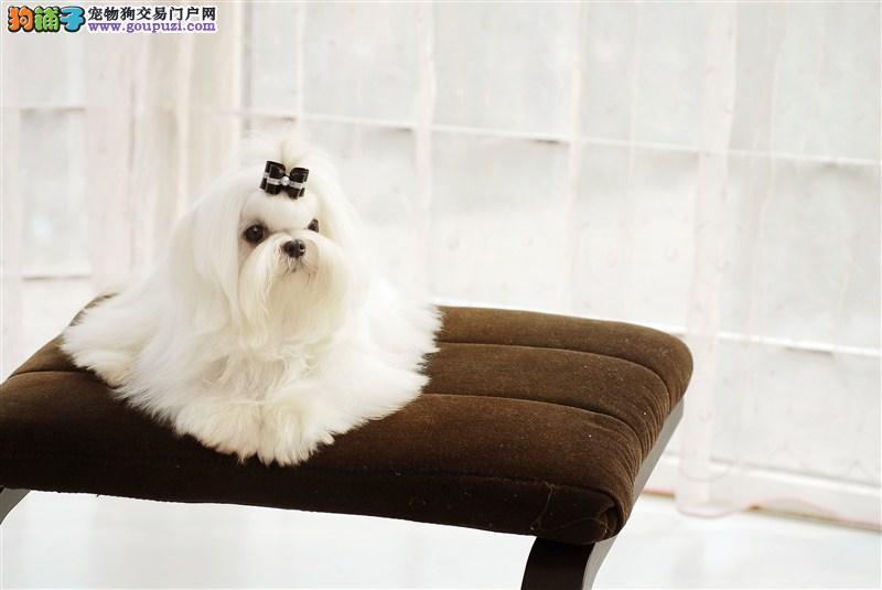 出售长毛犬两个多月的马尔济斯幼犬可上门看狗