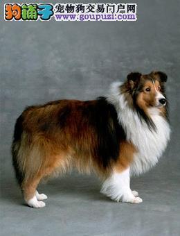 热卖喜乐蒂多只挑选视频看狗价格美丽品质优良