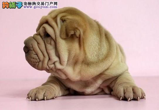 唐山市高品质澳版沙皮狗笑容温柔甜美会上厕所可签协议