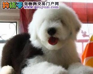 重庆售白头古牧保纯保健康 赛级古代牧羊犬幼犬签协议