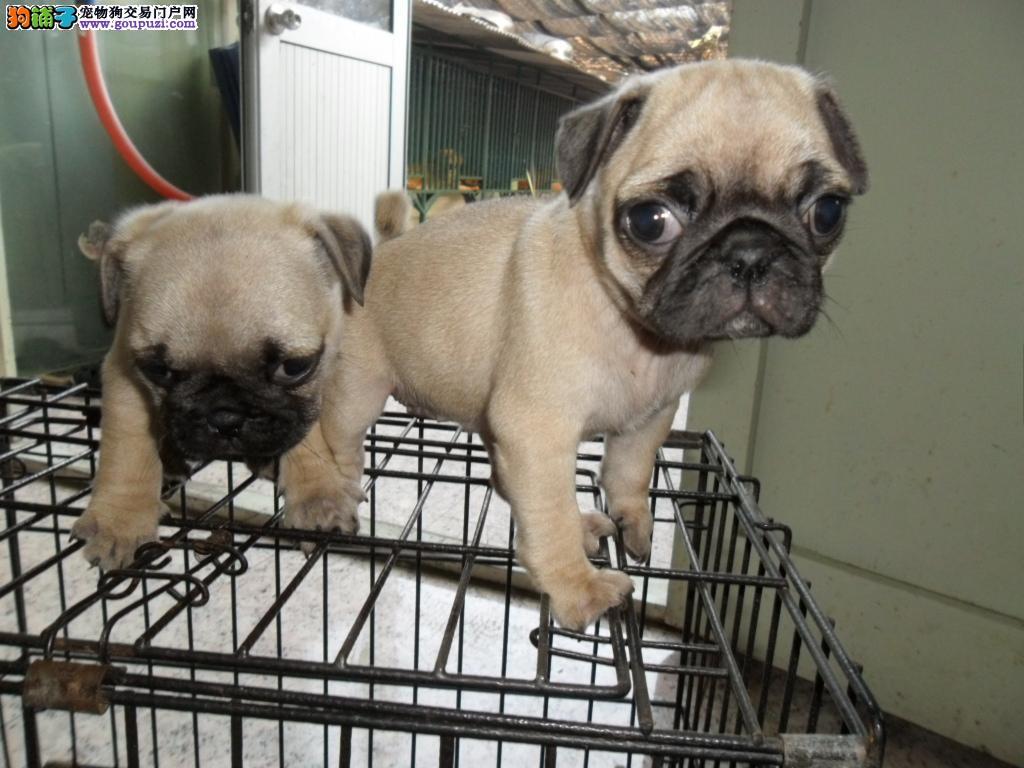 郑州市出售巴哥犬幼犬 公母都有 疫苗齐全 包半年健康