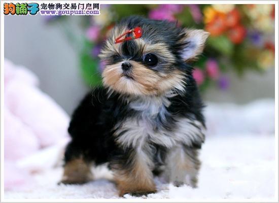 自家繁殖约克夏幼犬签订质保协议为买家着想!4