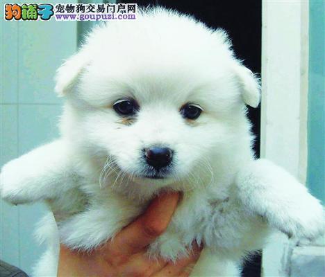 白白哒血统纯正银狐幼犬公母全疫苗齐全健康质保签协议