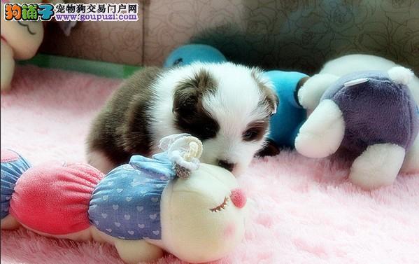 国宝级似小熊猫边境牧羊犬