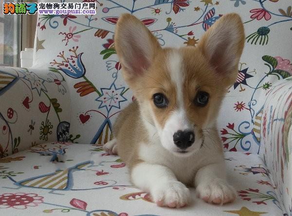 狗场直销威士尔纯种柯基 粗骨架三色黄白色柯基幼犬