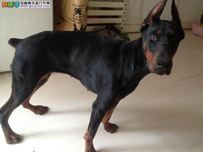 纯种德系杜宾犬幼犬骨架大头版重色素深